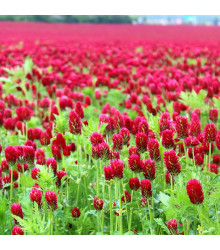 Jetel inkarnát - Trifolium incarnatum - semena - 120 ks