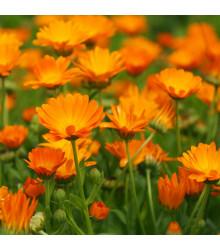 Měsíček lékařský Orange Daisy - Calendula officinalis - semena měsíčku - 60 ks