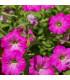 Petúnie mnohokvětá Rita F1 - Petunia hybrida - osivo petúnie - 30 ks
