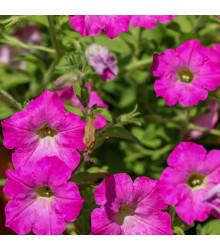 Petúnie mnohokvětá Rita F1 - Petunia hybrida - semena petúnie - 30 ks