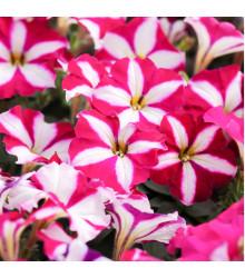 Petúnie mnohokvětá Belinda F1 - Petunia hybrida - semena petúnie - 30 ks