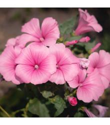 Petúnie mnohokvětá Claudia F1 - Petunia hybrida - semena petúnie - 30 ks