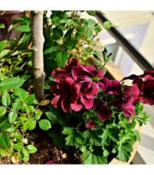 Muškát páskatý F1 Black Velvet Violet - prodej semen pelargonií - Pelargonium zonale - 6 ks