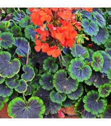 Muškát páskatý Nekita F1 Scarlet - prodej semen pelargonií - Pelargonium zonale - 4 ks
