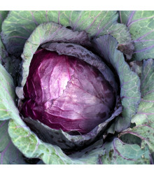 BIO zelí červené Granat - Brassica Oleracea - bio semena zelí - 40 ks