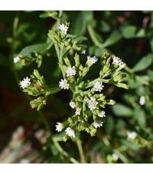 BIO stévie sladká - Stevia rebaudiana - bio osivo stévie - 12 ks