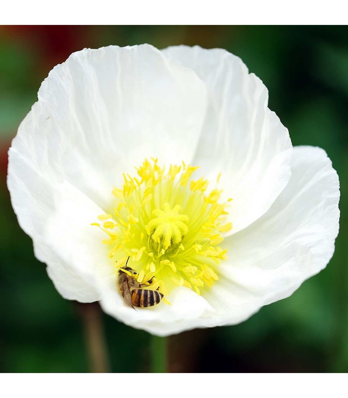 Mák Bridal Silk - Papaver rhoeas - semena máku - 150 ks