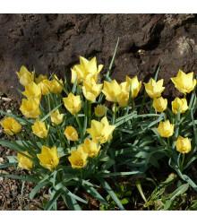 Tulipán Batalinii Bright Gem - Tulipa - cibule tulipánů - 3 ks