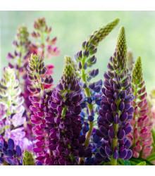 Lupina Avalune Bicolour směs barev - Vlčí bob Hartwegův - Lupinus hartwegii - semena - 15 ks