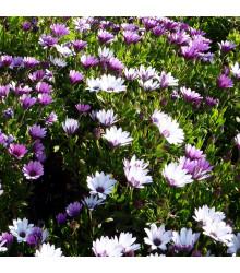 Paprskovka - kapská kopretina - Osteospermum eclonis asti mix - semena paprskovky - 6 ks