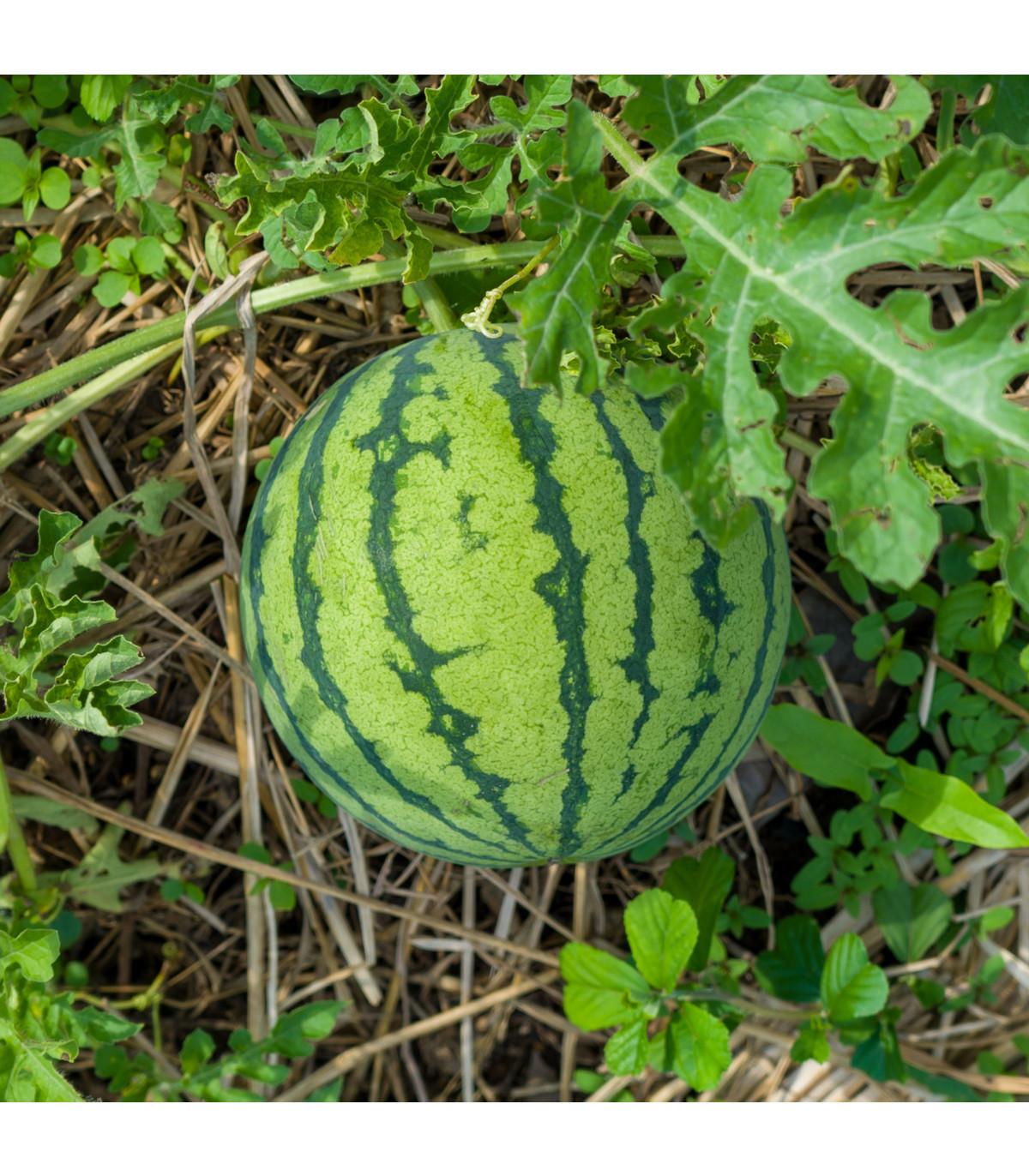 Meloun vodní Primaorange F1 - Citrullus lanatus - osivo melounu - 7 ks