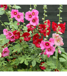 Topolovka plnokvětá Chaters směs barev - Alcea rosea - osivo topolovky - 12 ks