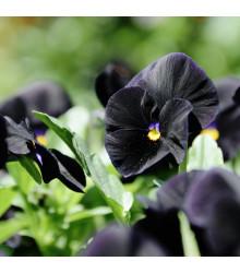 Maceška Mariposa Black F1 - Viola wittrockiana - prodej semen - 20 ks