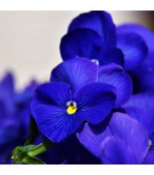 Maceška Schweizer Riesen Alpensee - Viola wittrockiana - prodej semen macešek - 200 ks