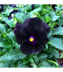 Violka rohatá Back to Black - Viola cornuta - osivo violky - 120ks