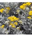 Starček přímořský- Senecio cineraria- semena- 350 ks