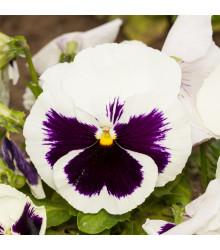 Maceška Silberbraut - Viola wittrockiana - prodej semen macešek - 200 ks