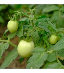 Rajče White Cherry - Lycopersicon Esculentum - semena rajčat - 7 ks