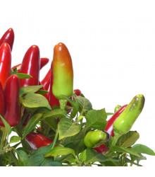 More about Chilli Serrano - Capsicum annuum - osivo chilli - 7 ks