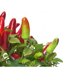Chilli Serrano - Capsicum annuum - semena chilli - 7 ks