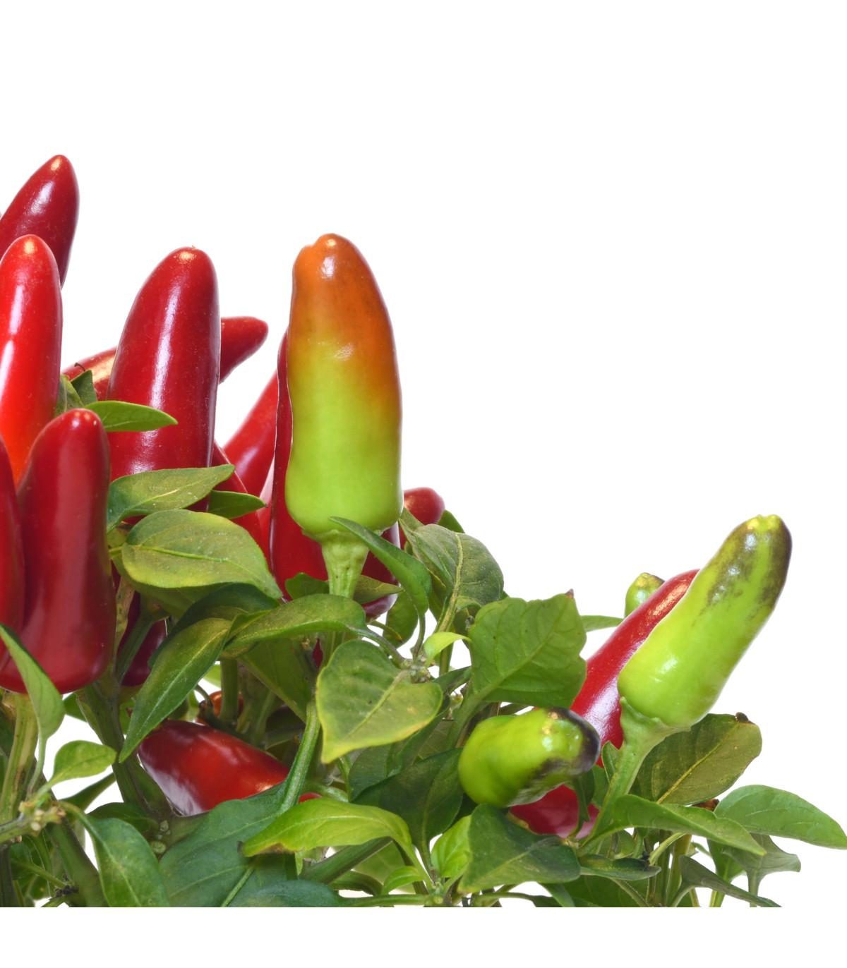 Chilli Serrano - Capsicum annuum - osivo chilli - 7 ks
