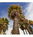Palma Washingtonie vláknitá - Washingtonia filifiera - prodej semínek - 3 ks