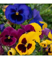 Maceška švýcarská Schweizer Riesen směs barev - Viola wittrockiana - prodej semen macešek - 200 ks
