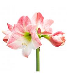 Hvězdník Apple Blossom - Hippeastrum - cibule hvězdníku - 1 ks