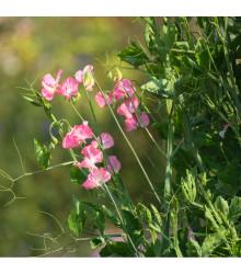 Hrachor vonný královský lososově růžový - Lathyrus odoratus - osivo hrachoru - 20 ks