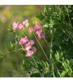 Hrachor vonný královský LOSOSOVĚ růžový - Lathyrus odoratus - prodej semen - 20 ks