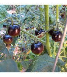 Rajče Black Opal - Lycopersicon Esculentum - osivo rajčat - 7 ks