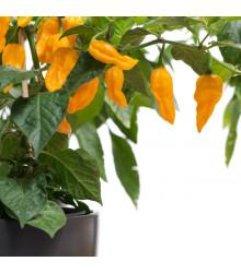 More about Chilli Habanero Lemon - Capsicum chinense - osivo chilli - 10 ks