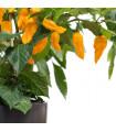 Chilli Habanero Lemon - Capsicum chinense - semena chilli papriček - 10 ks