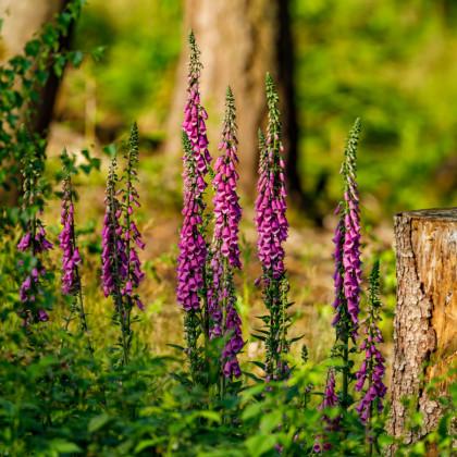 Trvalky směs rozkvetlá lesní louka - prodej semínek trvalek - 0,9 g