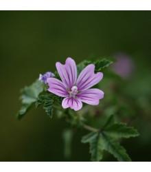 Sléz lesní - Malva sylvestris - semena slézu - 10 ks