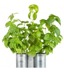 BIO Bazalka zelená - Ocimum Basilicum - bio osivo bazalky - 200 ks