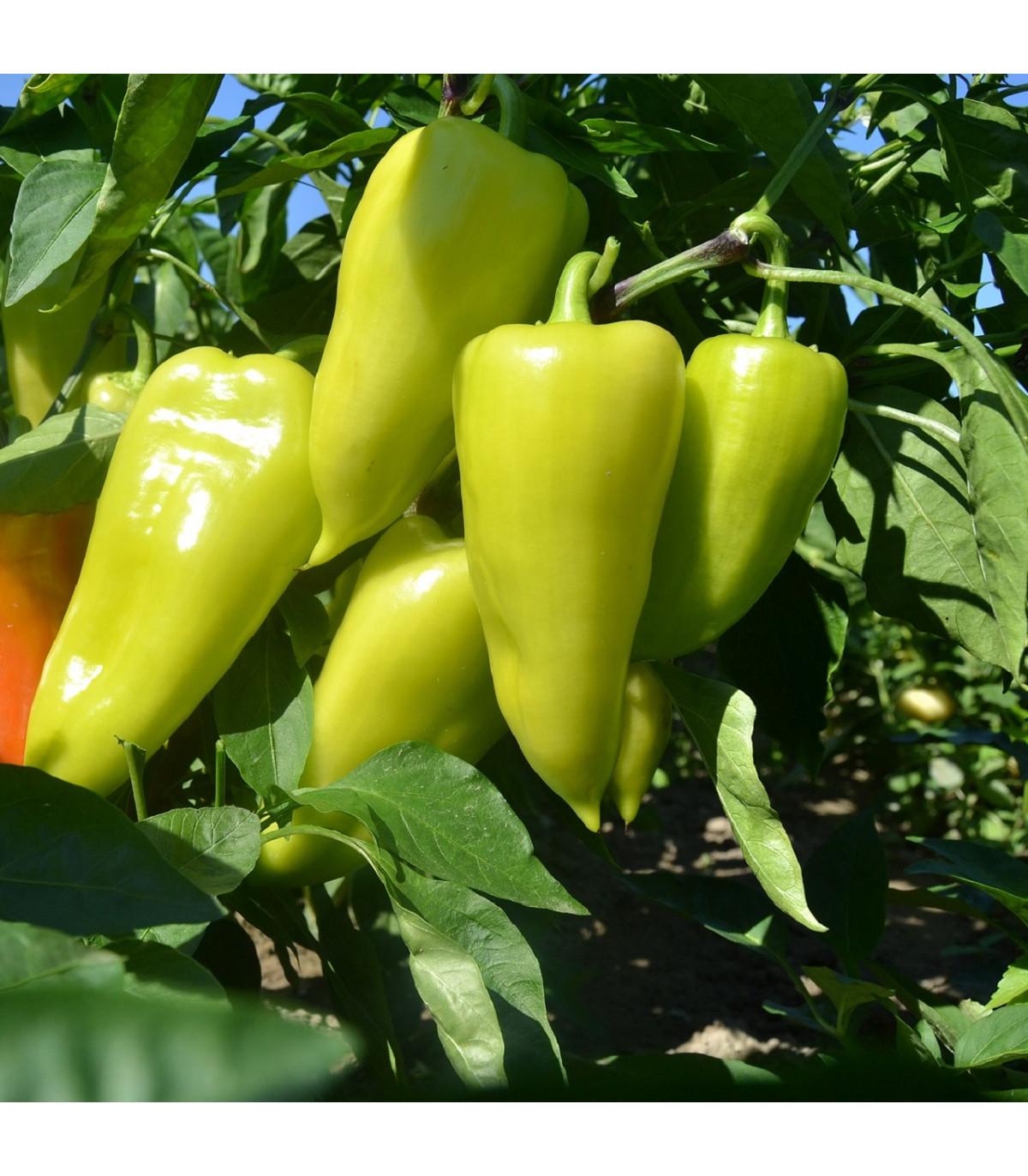 Paprika zeleninová PCR - Capsicum Annuum - osivo papriky - 80 ks