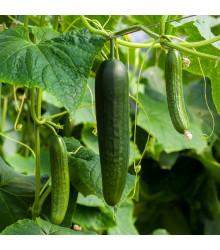 Okurka salátová Picolino F1 - Cucumis sativa - osivo okurky - 4 ks