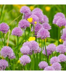 Pažitka pobřežní Staro - Allium schoenoprasum - osivo pažitky - 40 ks