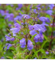 Včelník moldavský - rostlina Dracocephalum moldavica - prodej semen - 200 ks