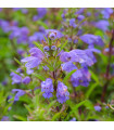 Včelník moldavský - rostlina Dracocephalum moldavica - prodej semen - 0, 5 gr