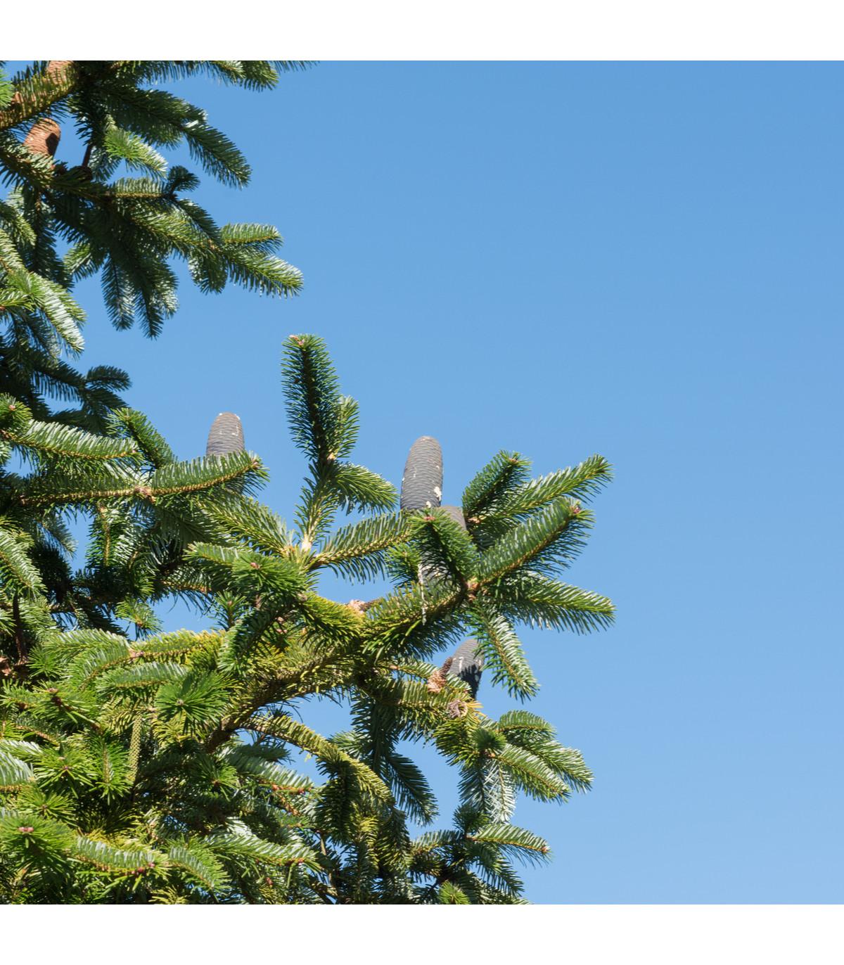 Jedle východohimalájská - Abies spectabilis - semena jedle - 7 ks