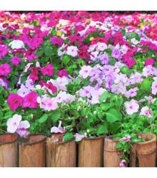 Netýkavka Balzamína směs barev - Impatiens balsamina - semena netýkavky - 100 ks