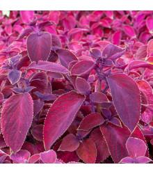 Africká kopřiva Wizard Velvet Red - Coleus blumei - semena africké kopřivy - 30 ks