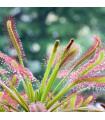 Rosnatka kapská- semena- 15 ks