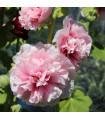 Topolovka růžová - letní karneval - 40 ks