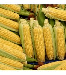 Kukuřice Luminox F1 - Zea mays - osivo kukuřice - 20 ks