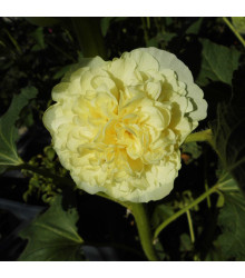Topolovka žlutá Chaters - Alcea rosea - semena - osivo topolovky - 12 ks