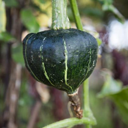 Tykev velkoplodá Buttercup Burgess - Cucurbita maxima - osivo tykve - 5 ks