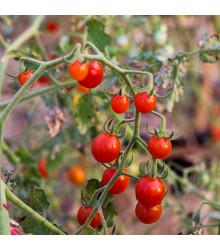 Divoké rajče rybízové Sweet Pea - Solanum pimpinellifolium - semena rajčat - 6 ks